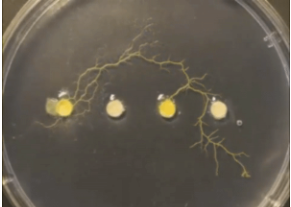 What can we learn from slime mould?