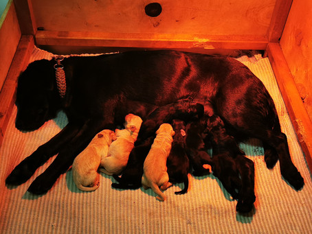 Labrador Retriever: C-Wurf gelandet :)
