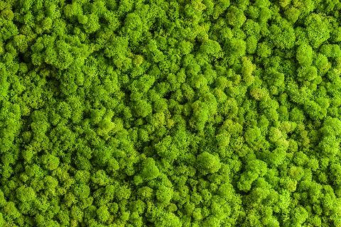 Reindeer moss wall, green wall decoratio