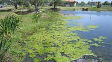 La mejor y más eficaz, económica y saludable manera de combatir las algas.
