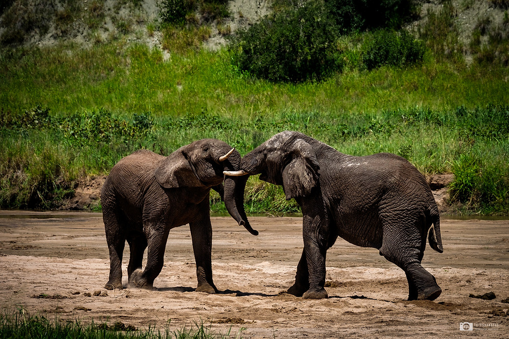 Elephants fight near Tarangire river.