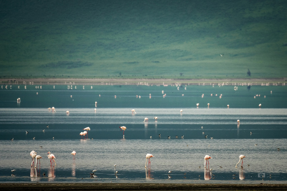 Flamingo birds in Ngorongoro