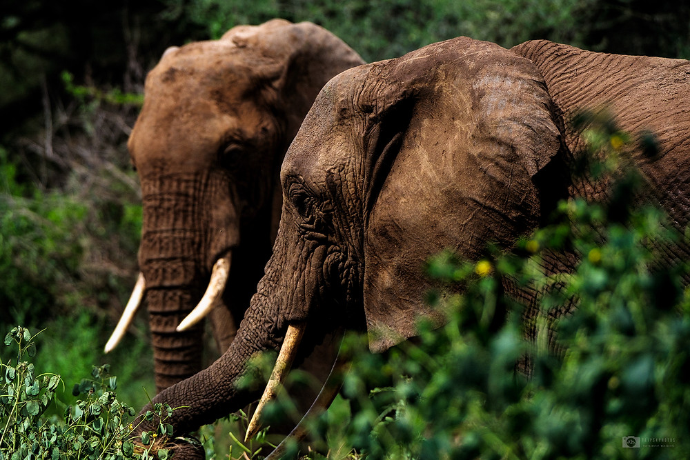 African Elephants in Lake Manyara National Park