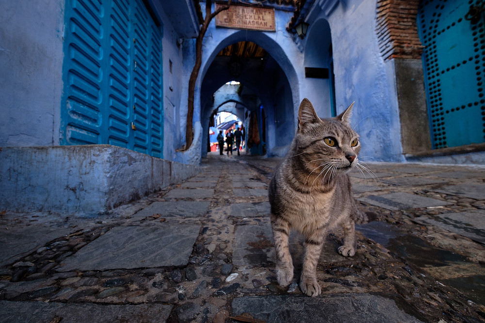 Cats of Morocco