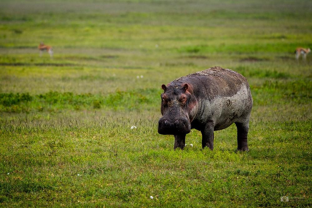 Hippo in Ngorongoro