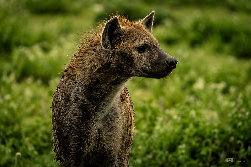 Hyena in the plains of Ndutu, Tanzania