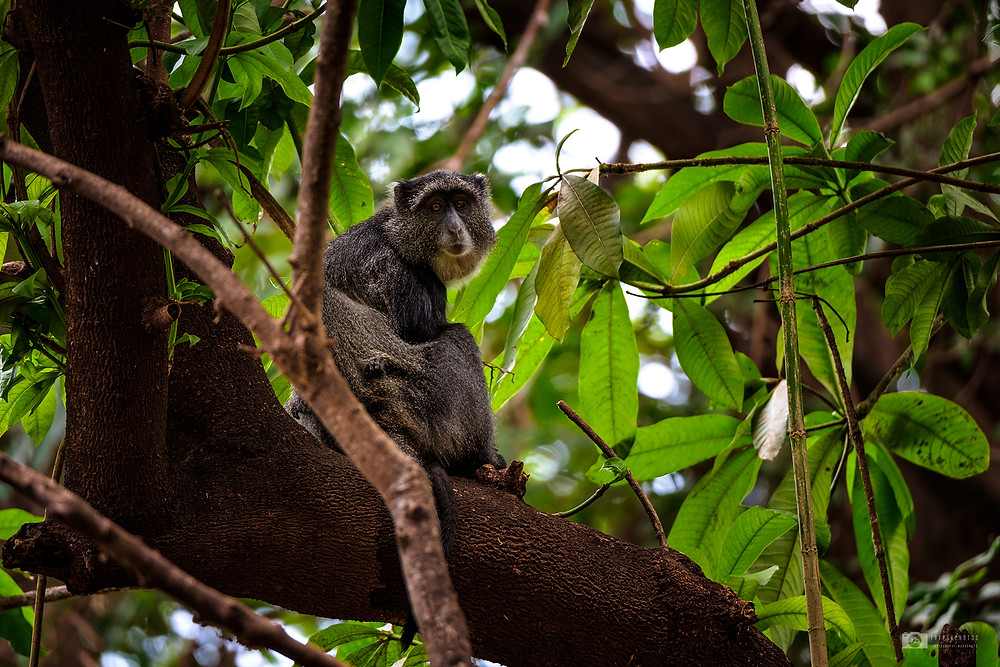 Gray monkey in Manyara National Park