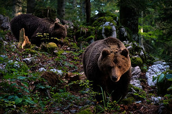 Brown Bears in Slovenia
