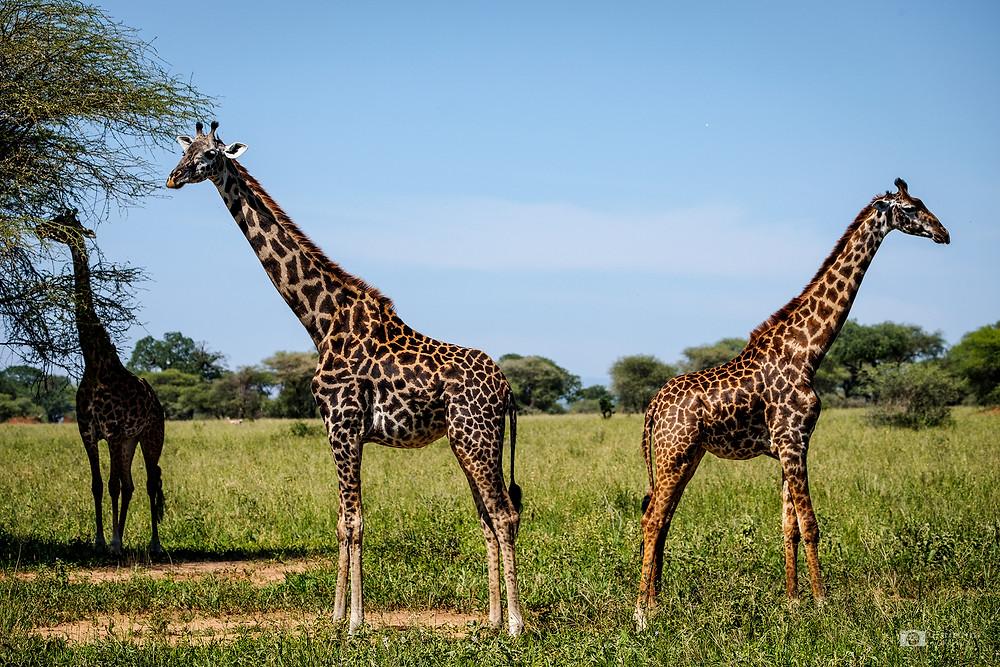 Giraffes in Tarangire, Tanzania