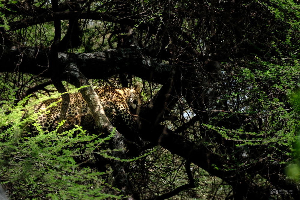 Leopard in the tree, Manyara National Park
