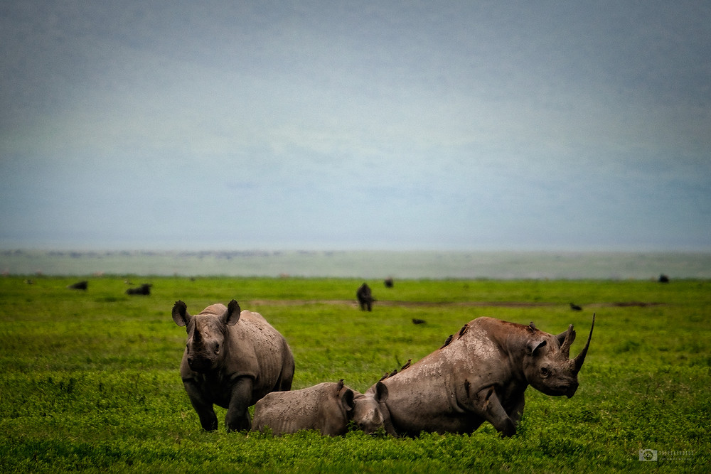 The Black Rhino in Ngorongoro