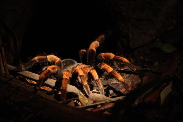 Nesting Tarantula