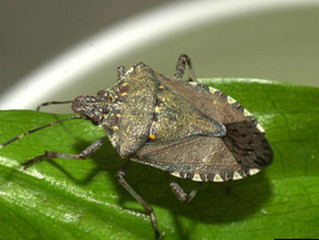 How to keep stink bugs at bay