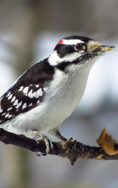 Downy Woodpecker Dryobates pubescens.jpg