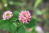 Trifolium sp (white and red) (2).JPG