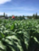 corn3.tiff
