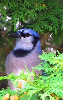 Blue Jay Cyanocitta cristata in Cedar Tr