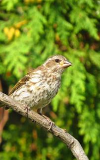 Baird's Sparrow Centronyx bairdii.jpg
