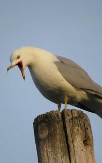 Black tailed Gull Larus crassirostris.jp
