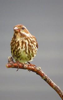 Sparrow Melospiza Possibly Song Sparrow