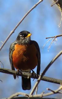 American Robin Turdus migratorius.jpg