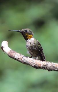 Humming Bird on Twig.jpg