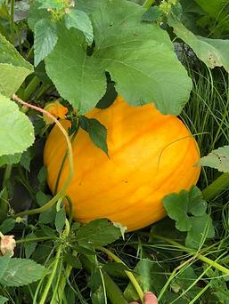 pumpkin2.tiff