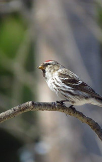 American Tree Sparrow Spizelloides arbor