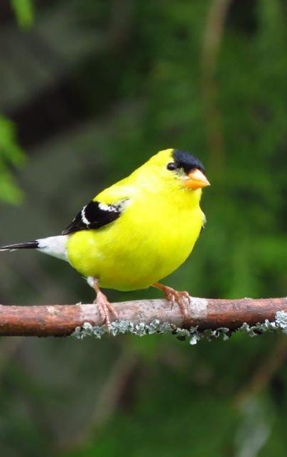 American Gold Finch Spinus tristis.jpg
