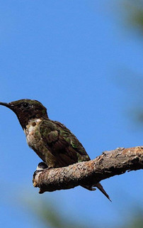 Humming Bird.jpg