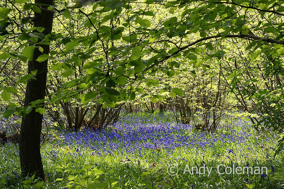 Springtime Bluebells in a woodland glade near to Sissinghurst Castle in the Weald of West Kent.