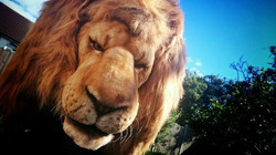 Hire a Lion