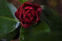 the red (forbiden) bloom