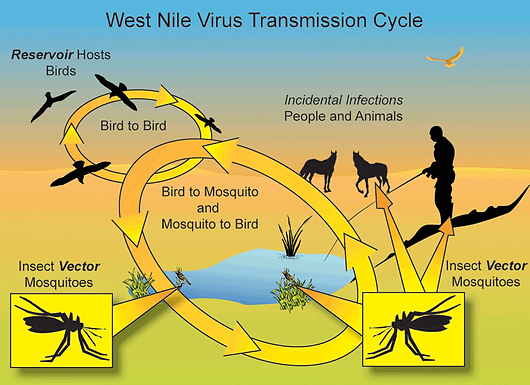 West Nile Virus Life Cycle