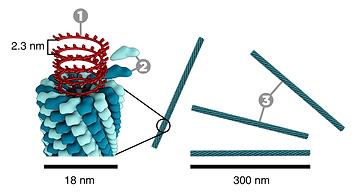 Tobamovirus (ToMV, TMV)