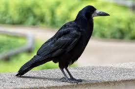 עורב - מה המשמעות והסמליות של הציפורים בחיינו?