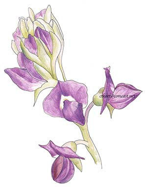 Purple Desert Lupine