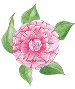 Camellia web.png