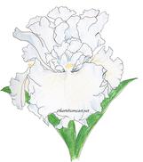 Bearded Iris web.png