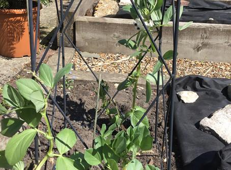 Bean plant update!