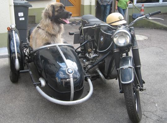 Leonberger-im-Beiwagen
