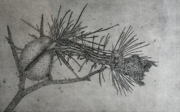 C1932-12, Babes Lapré, Muggelarve gevangen door blaasjeskruid