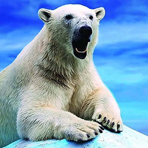 3D Holographic Card - Up Close Polar Bear - AL5VZ066