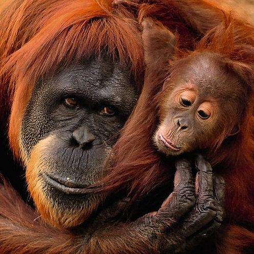 Ani'mates 3D Holographic Card - Orangutan and baby - ALVL5005