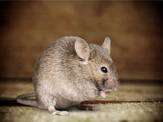 """Rodents""...Not the cute story of the three blind Mice, but somewhat relative..."