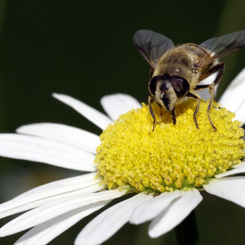 Bee harvesting plant nectar with its proboscis
