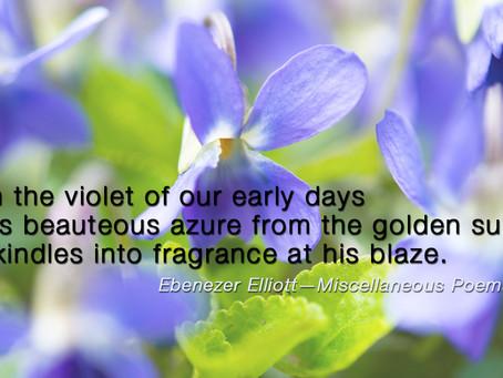 Violets of Spring