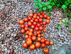 Braich Goch Garden / Tomatoes