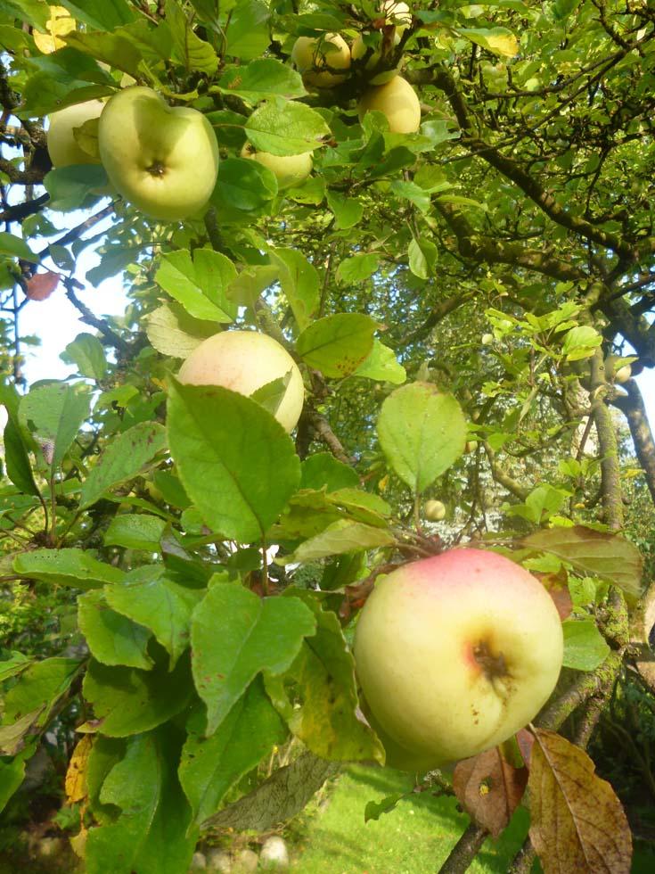 Apfelbaum im Praxisgarten