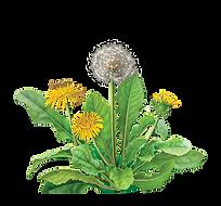transparent dandelion.png